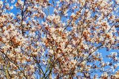 Flowering rosaceae tree in springtime Stock Images
