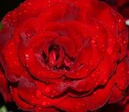 Flowering rose Black Magic Stock Photos