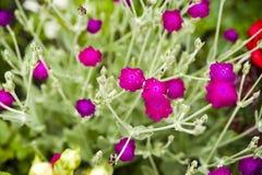 Flowering Rose campion (Lychnis coronaria) Royalty Free Stock Images