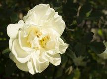 Flowering rose on dark background. Blanching flowering rose on dark background sheet in garden Stock Photos