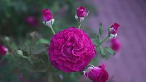 Flowering rose in the garden stock video footage