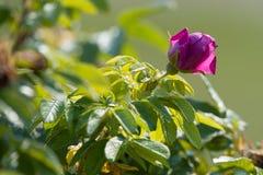 Flowering rose hip royalty free stock image