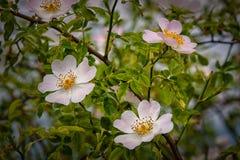 Flowering rose Stock Photos