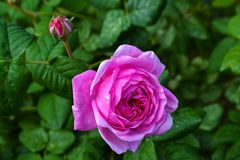 Flowering rose tea rose and unopened bud stock images