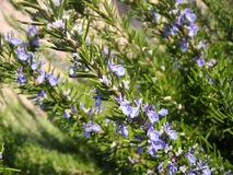Flowering rosemary. A sprig of flowering rosemary Stock Images