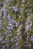 Flowering rosemary  backgound Royalty Free Stock Images