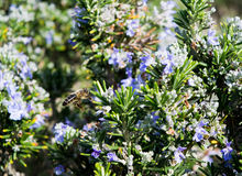 Flowering Rosemary Plant With a Bee Stock Photo
