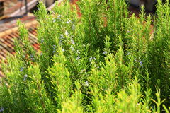 Flowering rosemary (Rosmarinus officinalis) Royalty Free Stock Photos