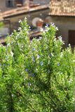 Flowering rosemary (Rosmarinus officinalis) Royalty Free Stock Images