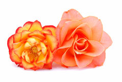 Flowering roses Stock Photography