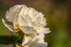Flowering roses in the garden Stock Photography