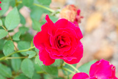Flowering roses in the garden Stock Photo