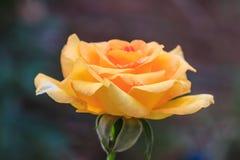 Flowering roses in the garden Stock Image