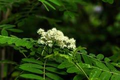 Flowering rowan. Royalty Free Stock Photography