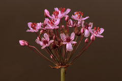 Flowering rush Stock Image