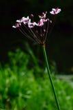 Flowering rush Stock Photography