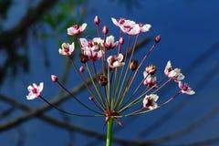 Flowering rush Royalty Free Stock Image