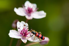 Flowering Rush (Butomus umbellatus) Stock Images