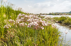 Flowering rush, Butomus umbellatus against the backdrop of the r Royalty Free Stock Image