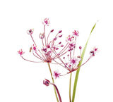 Flowering rush, Butomus umbellatus isolated Stock Image