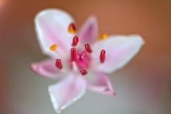 Flowering rush (Butomus umbellatus) Stock Photo