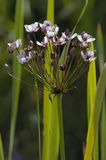 Flowering Rush Royalty Free Stock Photos