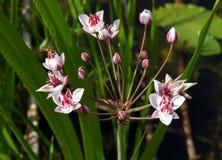 Flowering Rush In Summer Stock Images