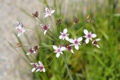 Flowering rush. Latin name - Butomus umbellatus stock photo