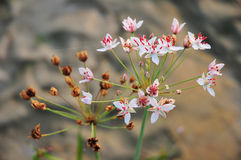 Flowering rush Stock Photos