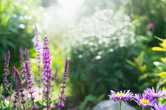 Flowering sage in the background of a summer garden, outdoor Royalty Free Stock Photo