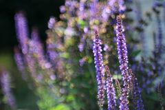 Flowering Sage with bokeh (Salvia nemarosa) Royalty Free Stock Image