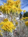 Flowering sage brush Stock Image
