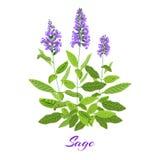 Flowering sage herb. Flowering sage. Sage herb. Purple flowers. Vector illustration eps10 Royalty Free Stock Photo