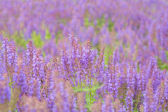 Flowering sage in nature Royalty Free Stock Photo