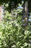 Flowering sage. Flowering salvia(sage) in the garden stock photo