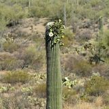 Flowering saguaro cactus in the southern Arizona Sonoran Desert. On a sunny day Stock Photos