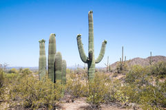 Flowering Saguaro Stock Image