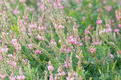 Flowering Sainfoin, Onobrychis viciifolia Royalty Free Stock Image