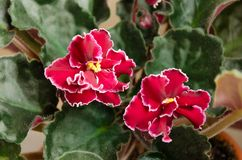 Flowering Saintpaulia, commonly known as African violet. Potted plant royalty free stock photography