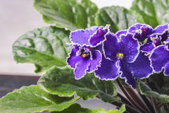 Free Flowering Saintpaulias, Commonly Known As African Violet. Mini Potted Plant. Stock Images - 93971444