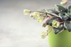 Flowering Saintpaulias, commonly known as African violet. Mini Potted plant. Stock Photo