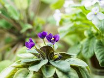 Flowering Saintpaulias, commonly known as African violet. Mini Potted plant. Royalty Free Stock Image