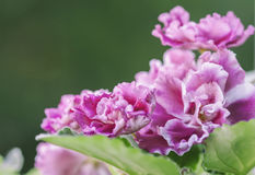 Flowering Saintpaulias, commonly known as African violet Royalty Free Stock Image