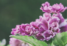 Flowering Saintpaulias, commonly known as African violet Royalty Free Stock Photography