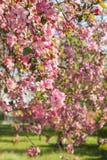 Flowering of sakura on a background of sky Royalty Free Stock Photos