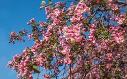 Flowering of sakura on a background of sky Stock Photos