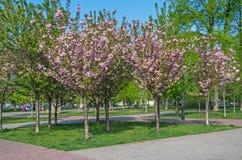 Flowering sakura Stock Photography