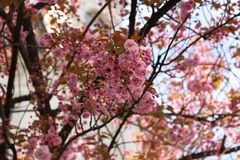 flowering sakura trees. stock photos