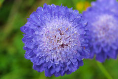 Flowering Scabiosa. Stock Photography