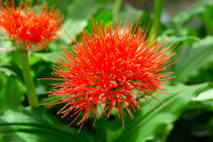 Flowering Scadoxus puniceus Stock Image